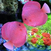 A Pair Of Kissing Fish-疯狂亲嘴鱼 免费
